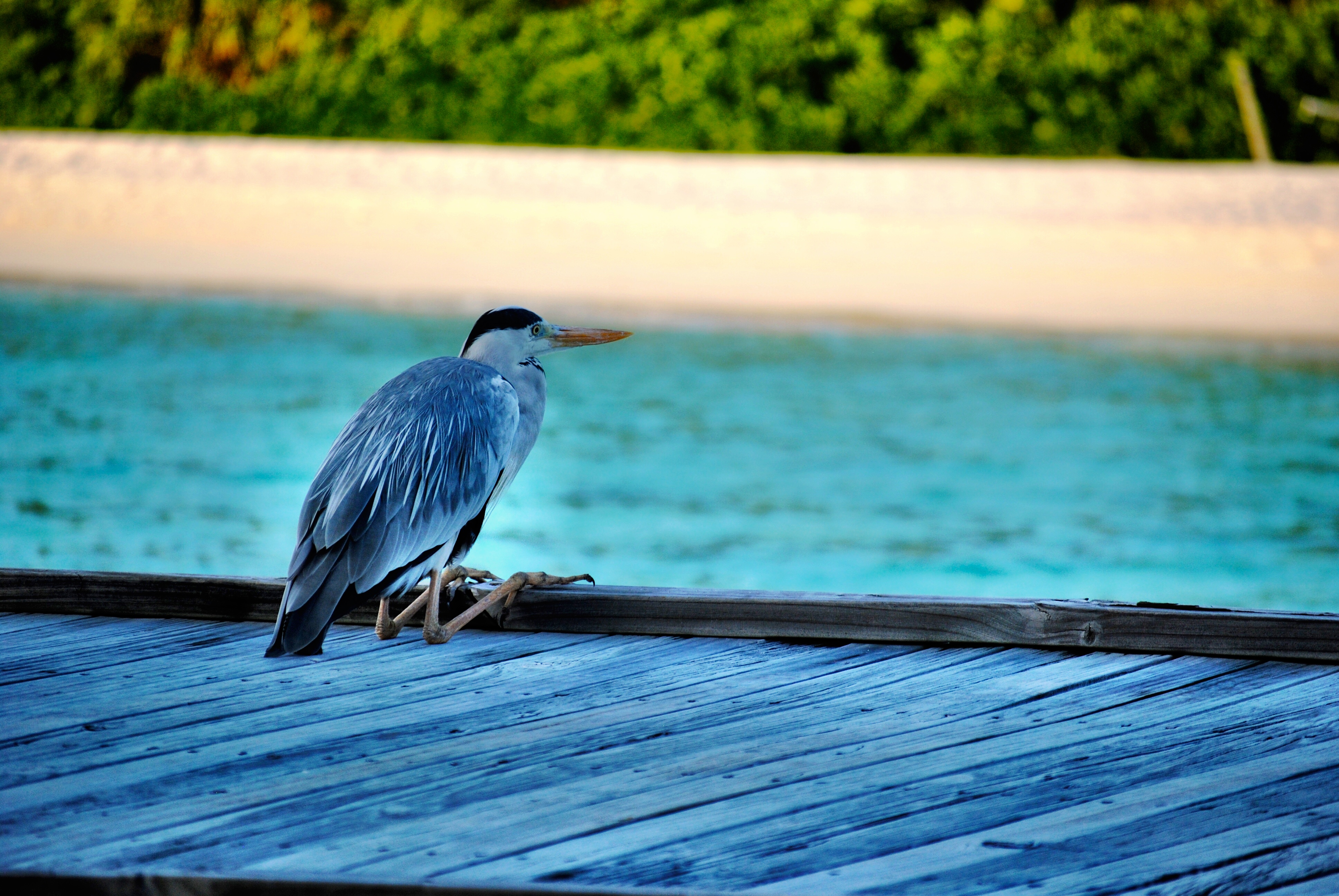 Heron in the Maldives