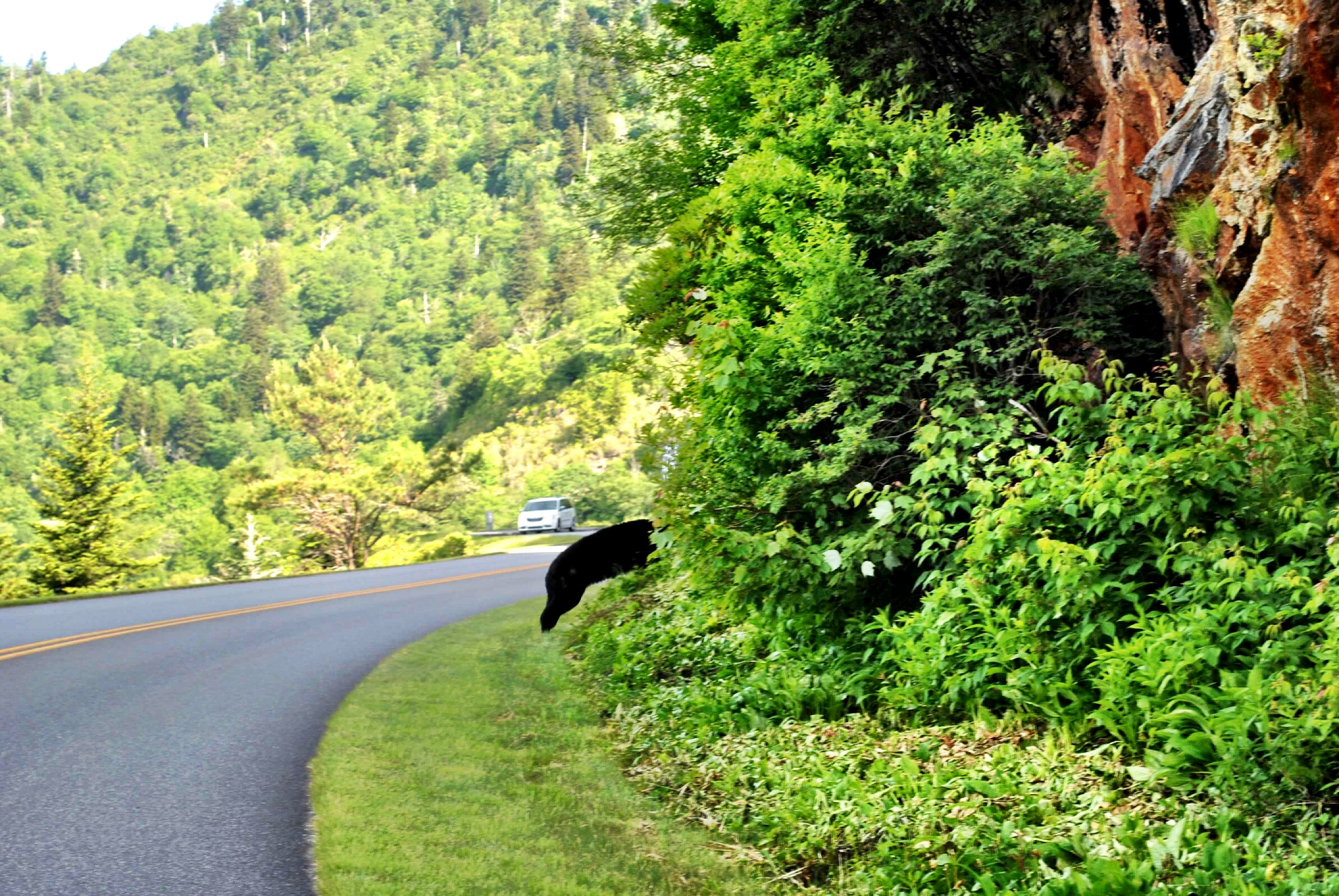 North Carolina - Blue Ridge Parkway - Black Bear