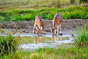 Deer drinking water in Sri Lanka
