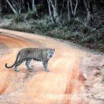 Leopard in Wilpattu National Park in Sri Lanka