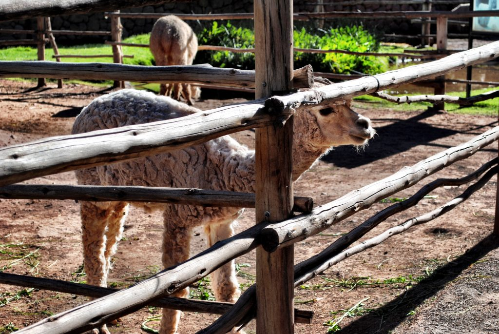 Alpaca Farm - Peru - Sacred Valley