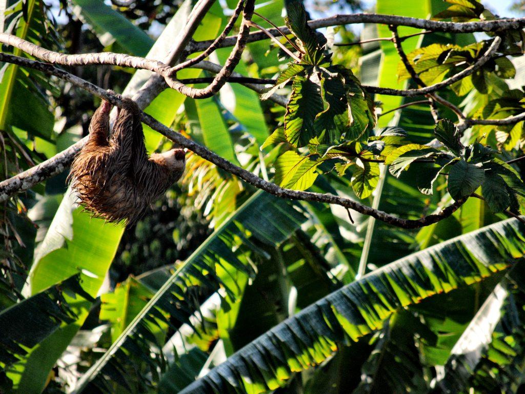 Costa Rica - Limon - Sloth