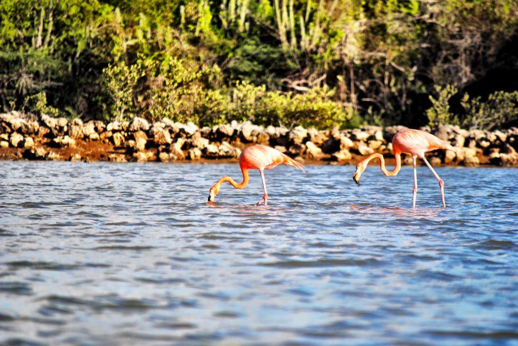Curacao - Flamingos