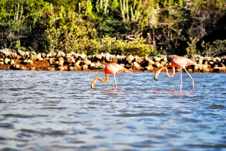 Wild flamingos in Curacao