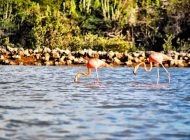 Wild Flamingos! And Other Reasons to Visit Curaçao