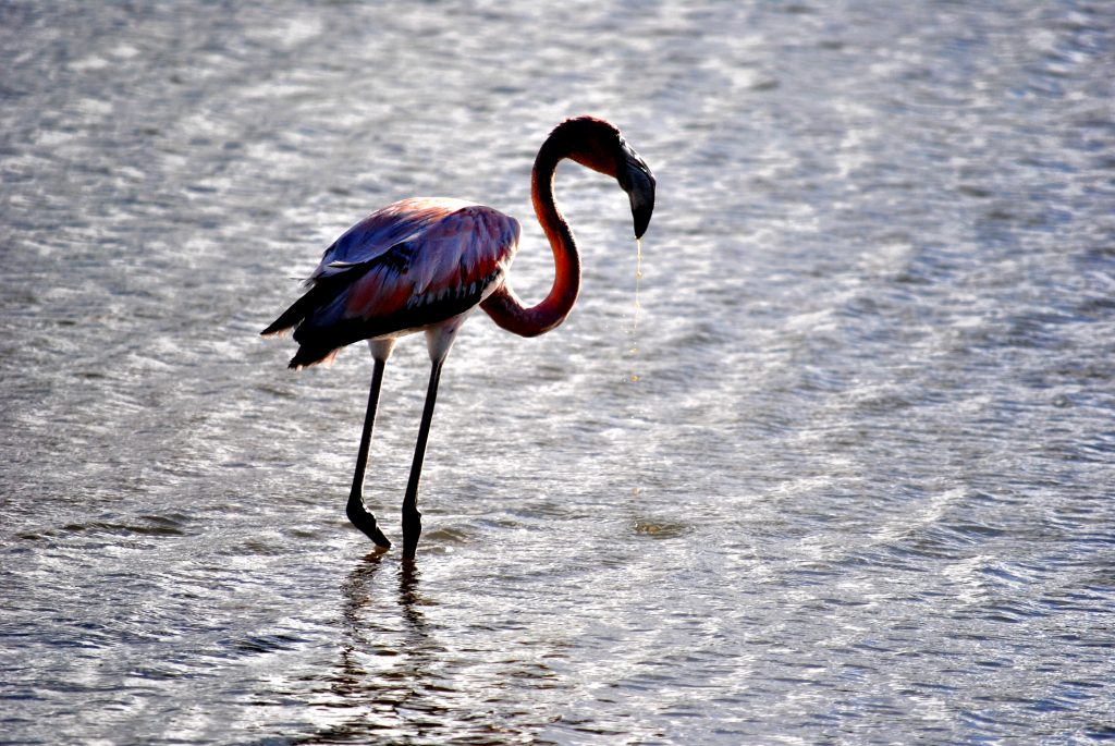 Curacao - Salt Flats - Flamingo