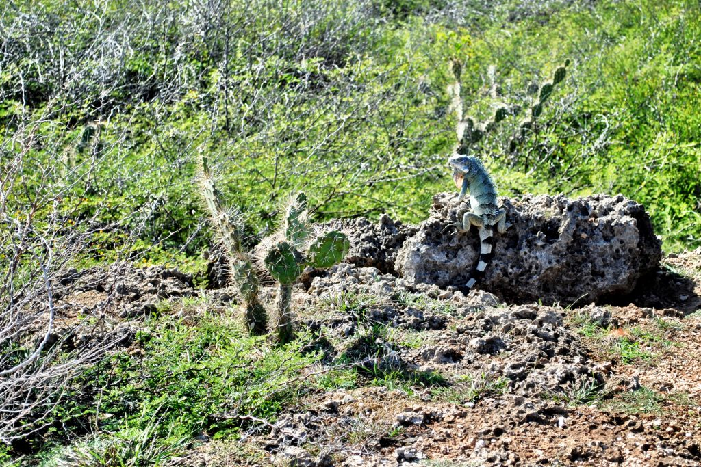 Curacao- Shete Boka National Park - Iguana