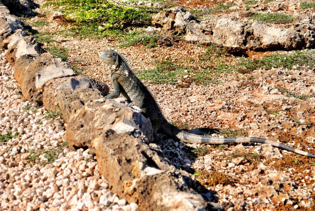 Iguana - Curacao - Shete Boka National Park