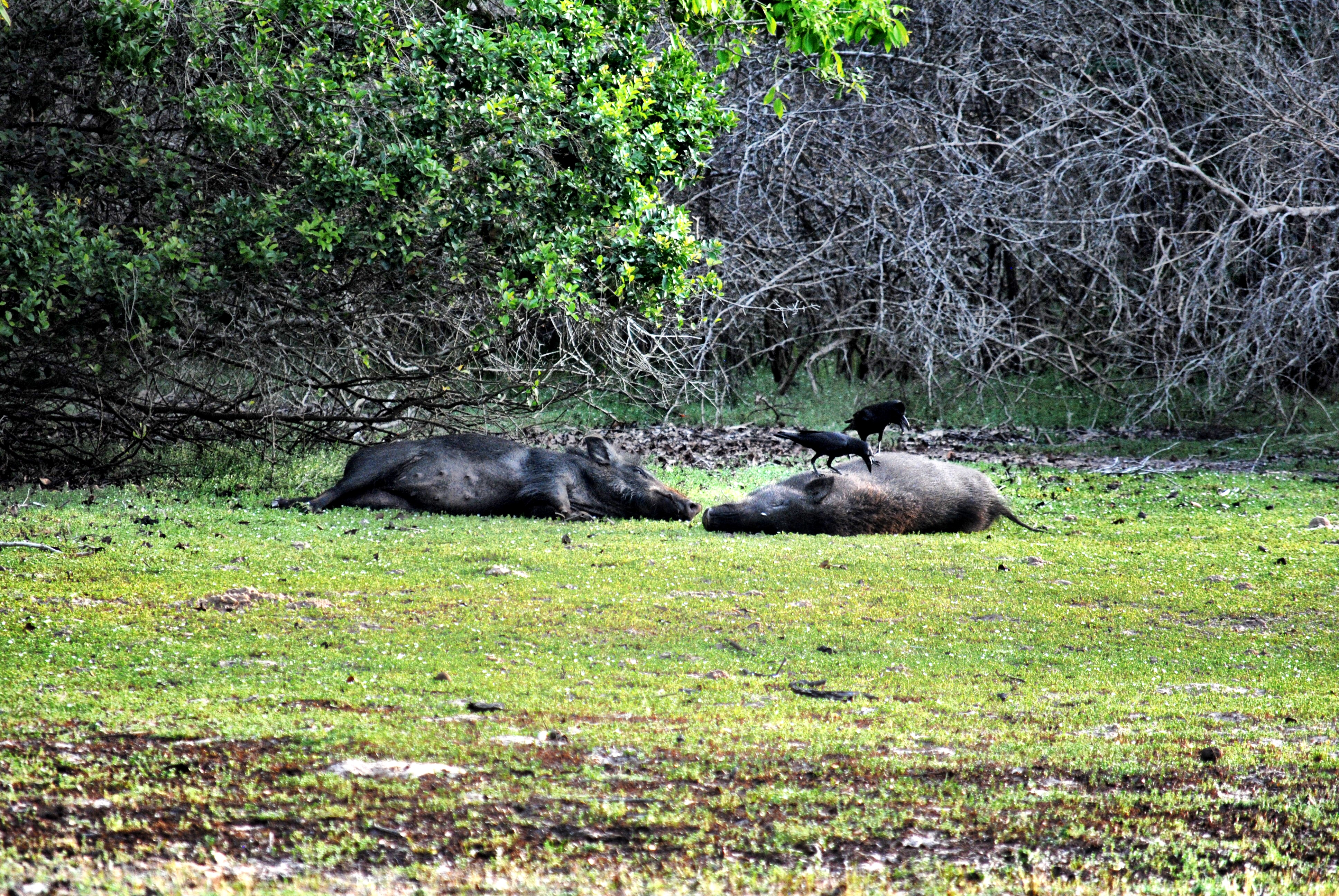 Wild Boar in Wilpattu National Park, Sri Lanka