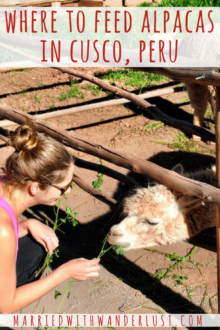 Where to Feed Alpacas in Cusco, Peru