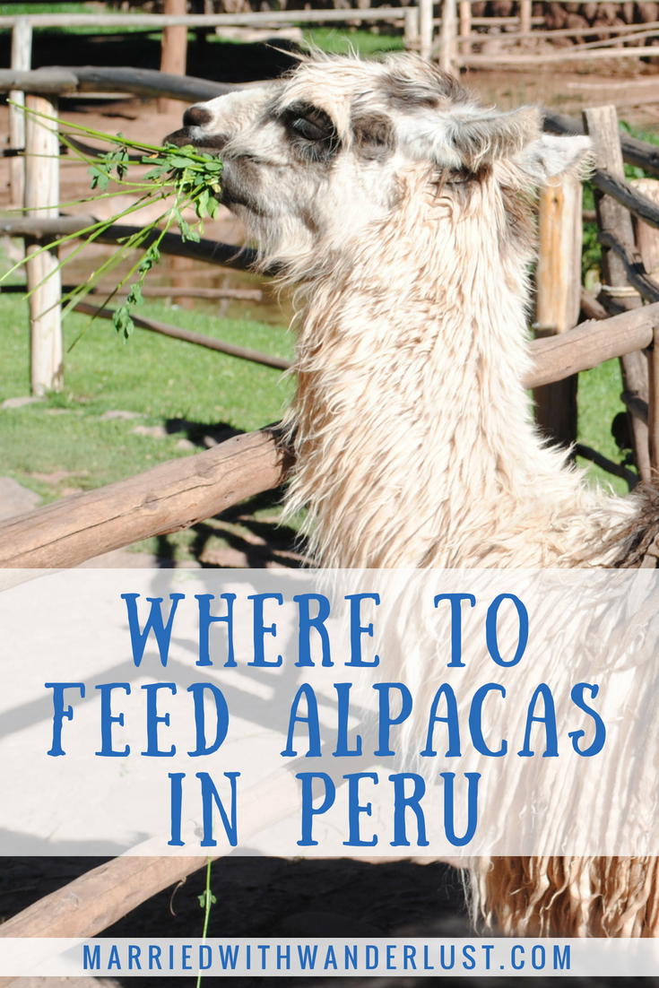 Guide to Feeding Alpacas and Llamas in Peru