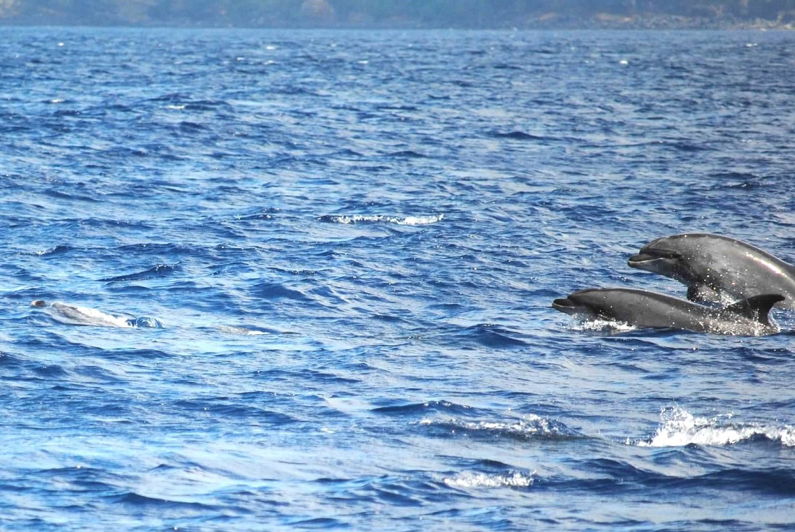Dolphins off Sao Miguel Island, Azores