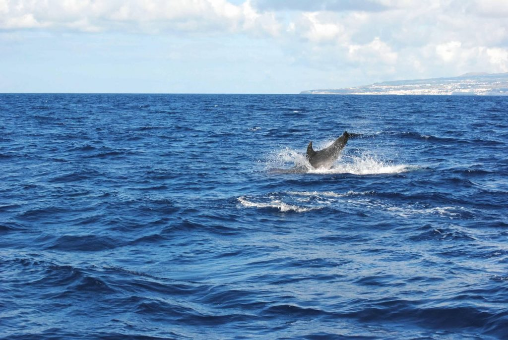 Spotting dolphins in the Azores