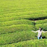Gorreana Tea Plantation in the Azores, Portugal