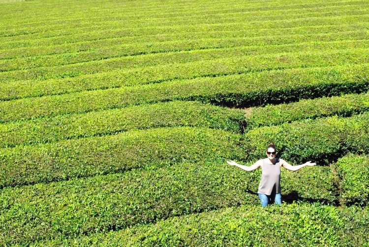 Gorreana Tea Plantation in the Azores, Portugal