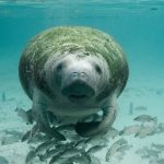 Florida bucket list: See a manatee!