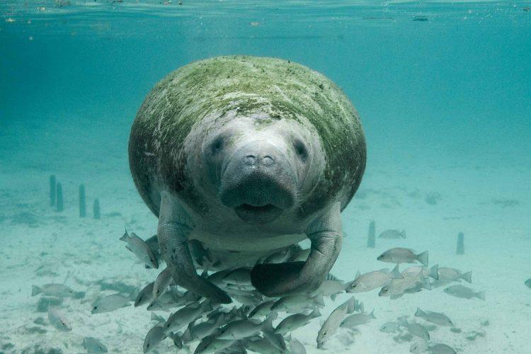 Florida bucket list: See a manatee!
