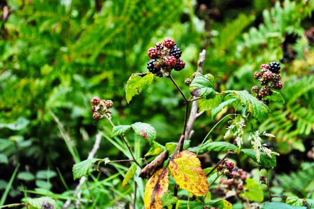 Wild blackberries in the Azores