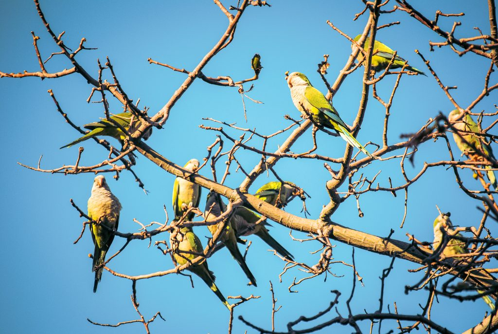Look for monk parakeets in Barcelona