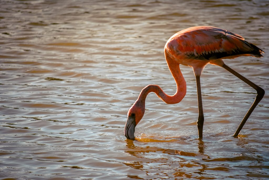 Hang out with wild flamingos in Curacao