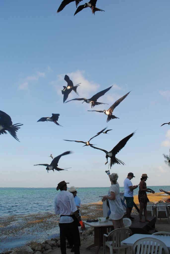 Frigate bird feeding at Tukka, Grand Cayman