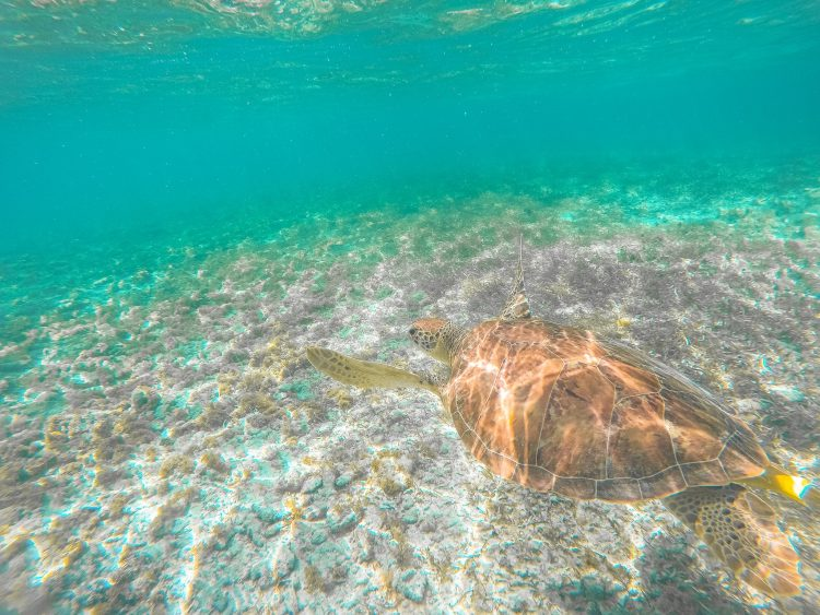 Sea turtles in Grand Cayman