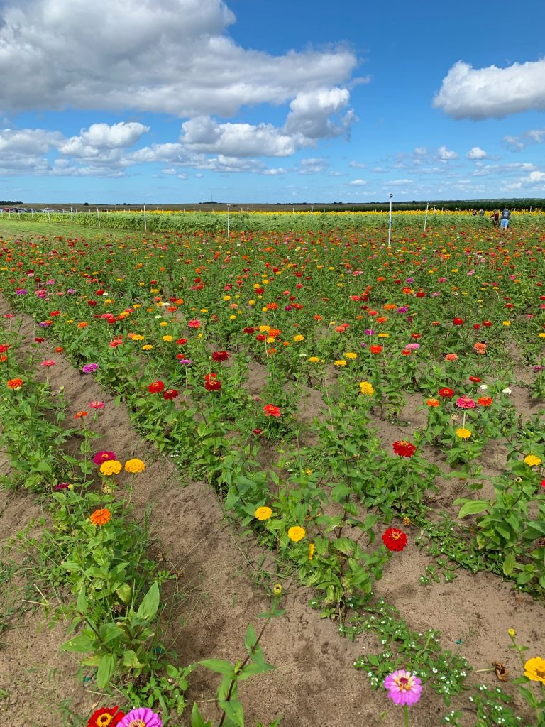 Zinnia field in Clermont, Florida