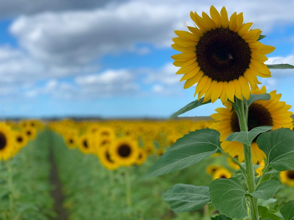 Visit a sunflower field in Florida