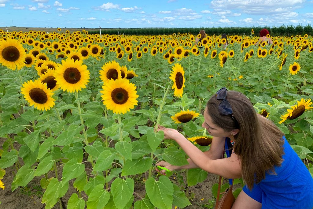 Cut your own sunflowers at this field in Florida