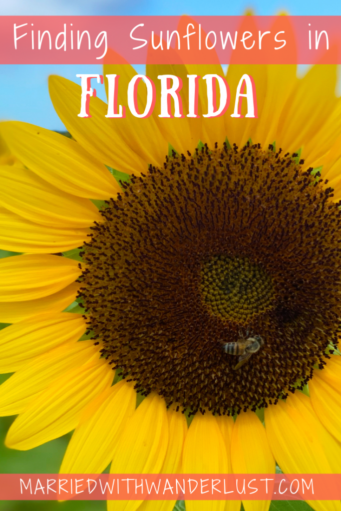 Where to find sunflowers in Florida