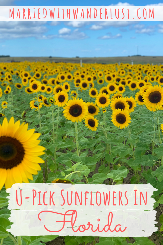 U-pick sunflower field in Florida