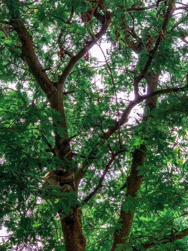 Sloth in the park in Cartagena