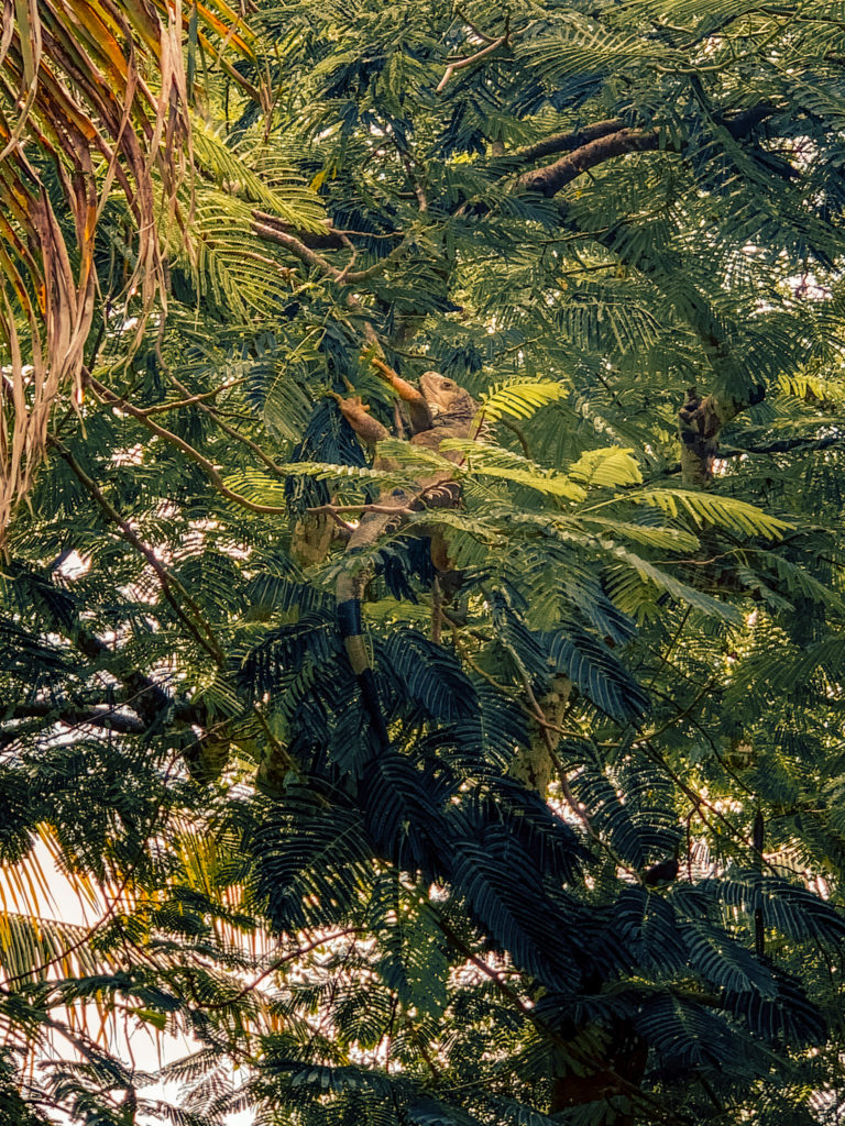 Iguana in the trees in Cartagena
