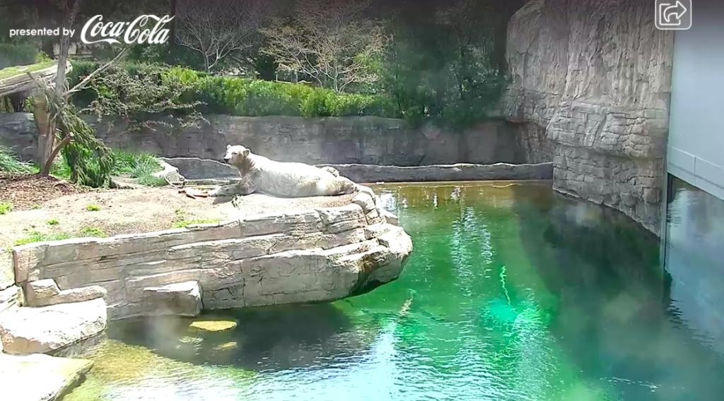Polar Bear Cam at the San Diego Zoo
