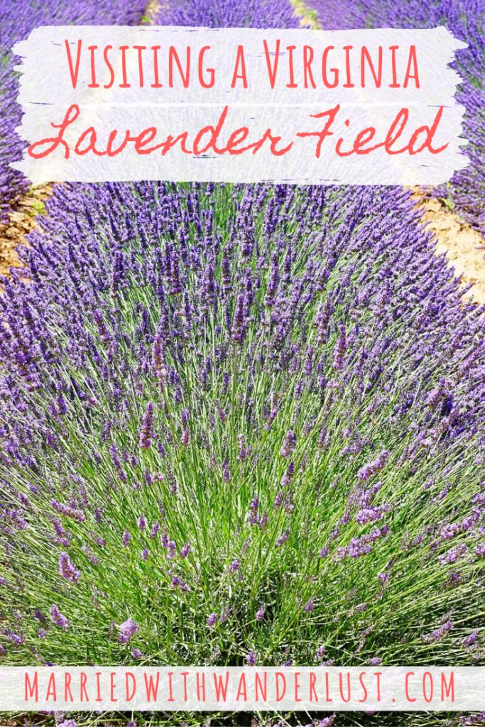 Visiting a Virginia Lavender Field