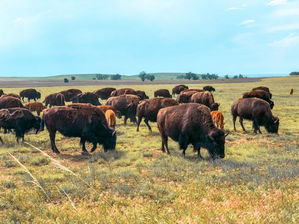 Bison at Rocky Mountain Arsenal Wildlife Refuge